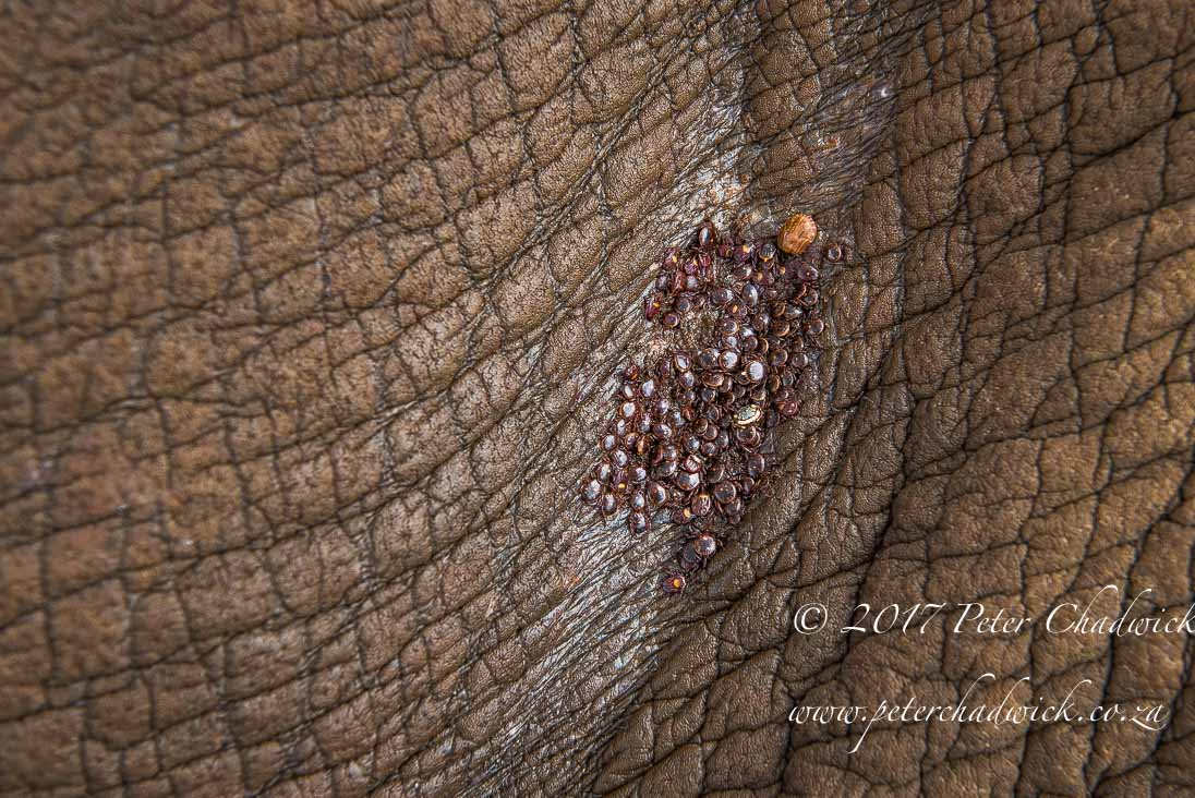 The Ecological Importance of Rhino by Conservation Photographer Peter Chadwick