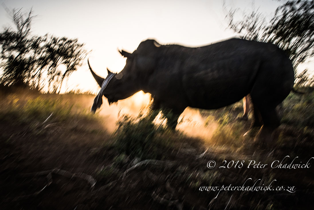 Dehorning rhino_©PeterChadwick_AfricanConservationPhotographer