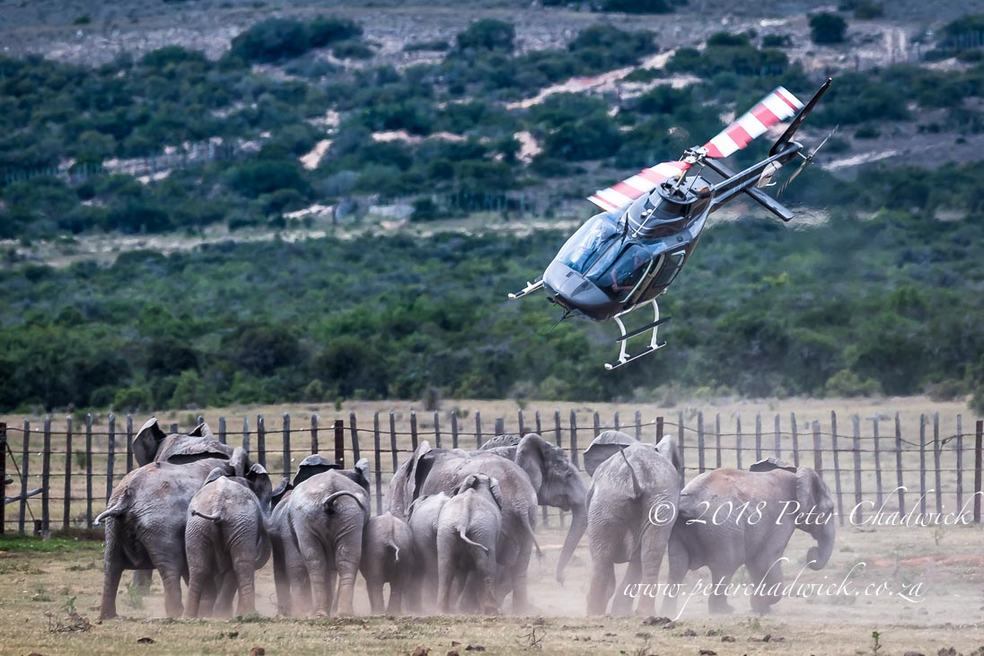 African elephant capture_©PeterChadwick_AfricanConservationPhotographer