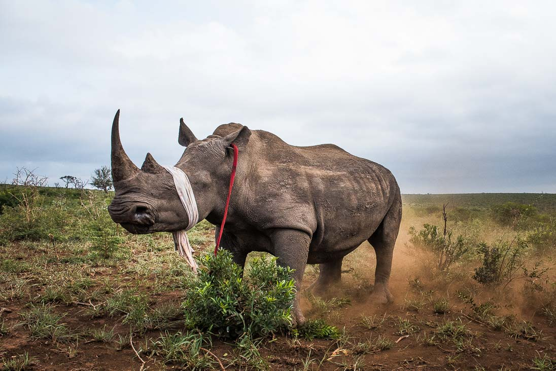 Sedated White Rhino by Peter Chadwick African Conservation Photographer
