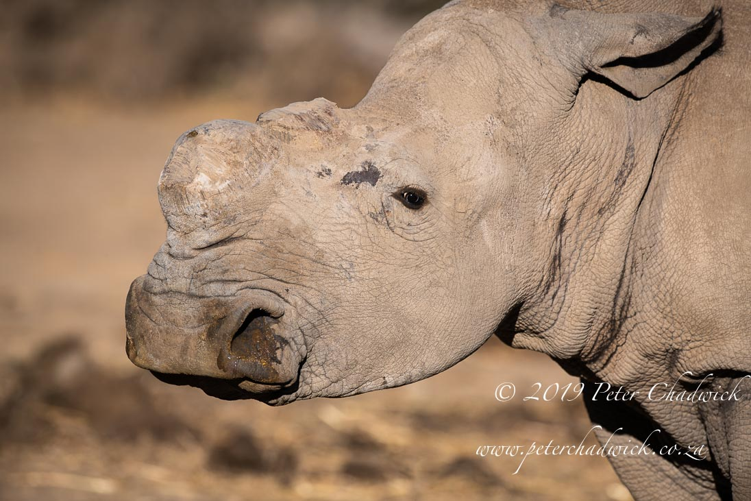 World Rhino Day_©PeterChadwick_AfricanConservationPhotographer